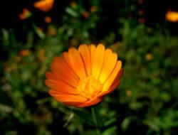 オレンジ色の草花