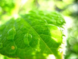 雨露のついた葉