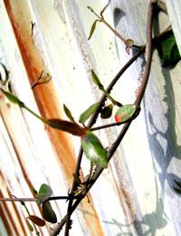トタンに生える植物