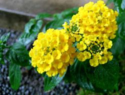 黄色のランタナ