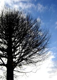 裸になったイチョウの木