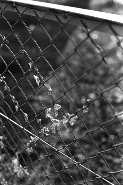 フェンスに絡まる蔦@モノクロ写真