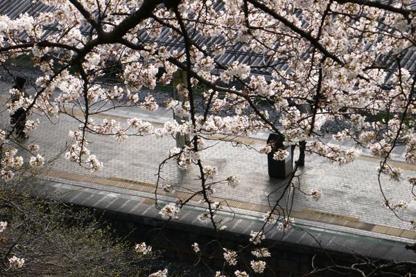 JR四谷駅の桜