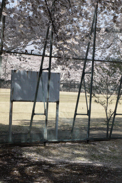 ネット裏から見る桜